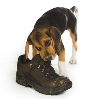 Puppy With Shoe