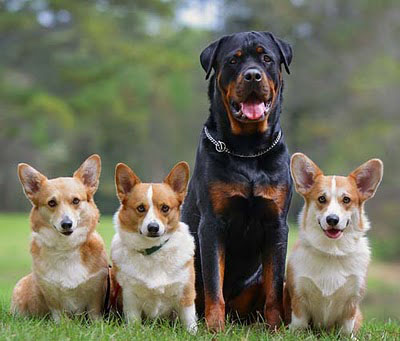 Rottweiler With Dogs