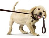 Dog Pulling Leash